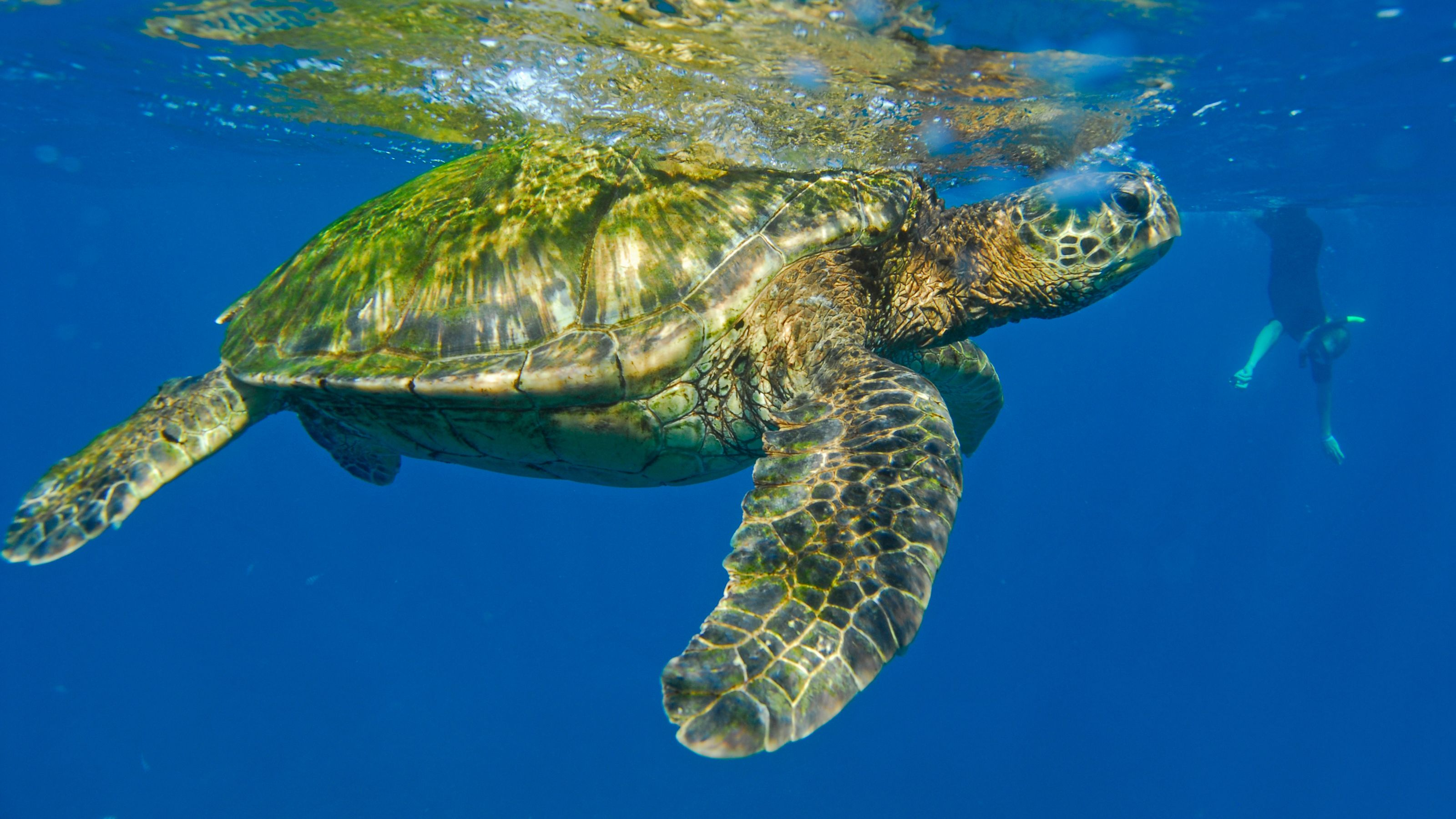 Turtle and diver in Kauai