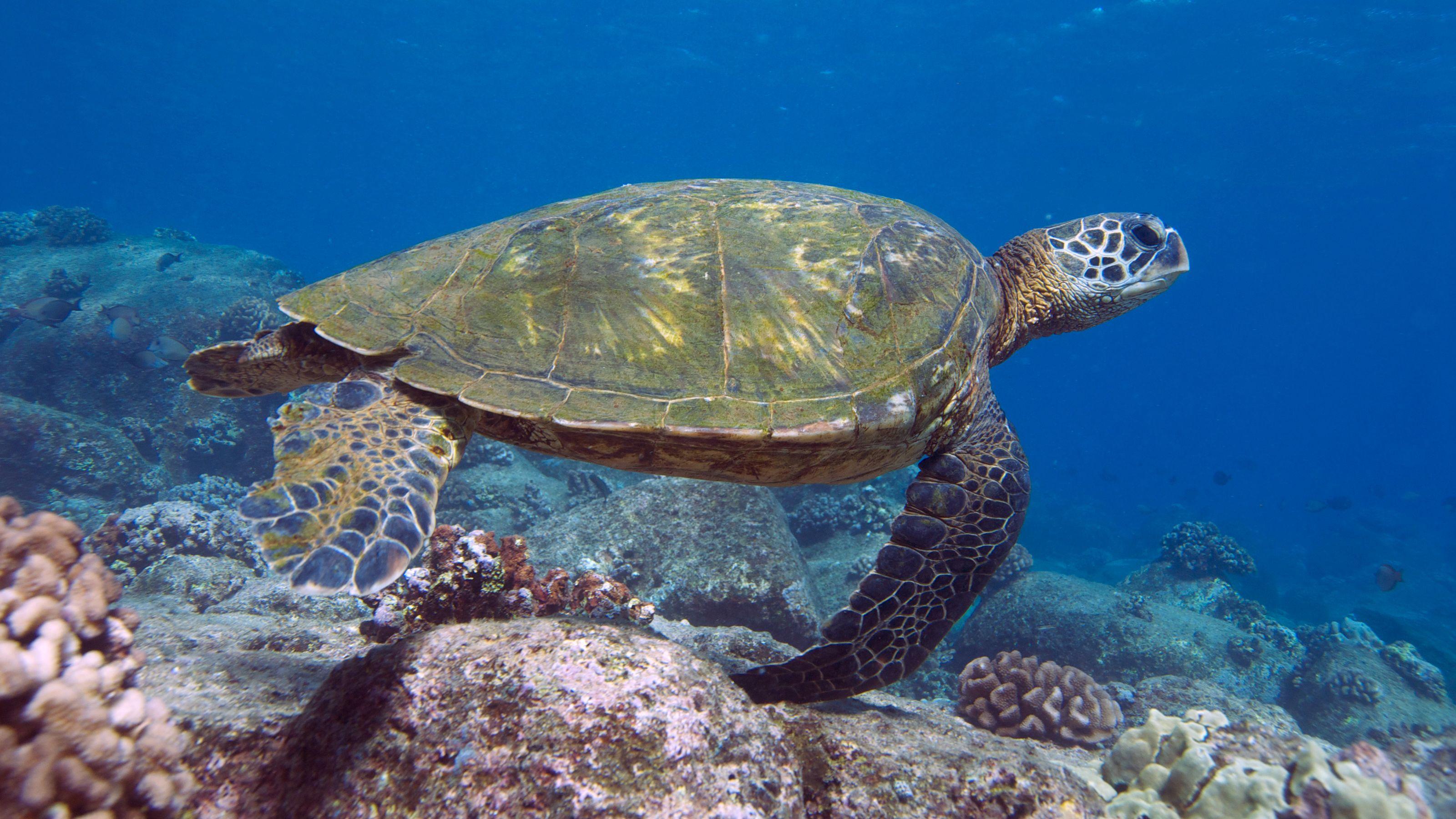 Turtle in Kauai