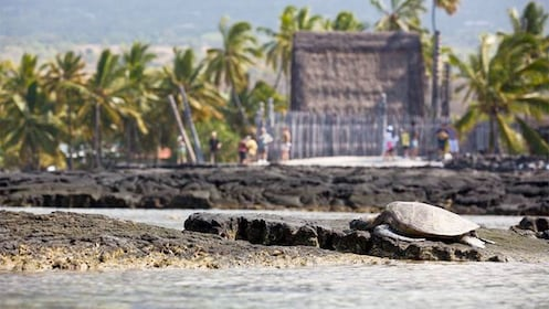 Sea turtle resting on the rocky shore on the Big Island of Hawaii