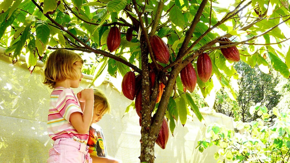 Show item 1 of 10. little girl and boy under Cocoa tree in Kauai