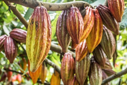 cacaotrees.jpg