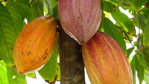 Cocoa tree at farm in Kauai