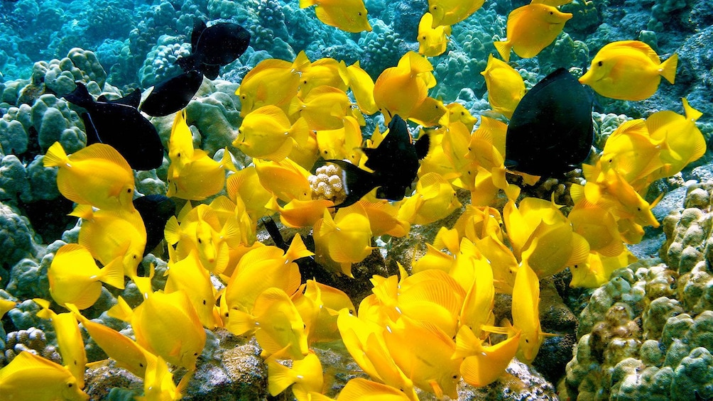 Show item 2 of 9. school of yellow and black fish in the pacific ocean