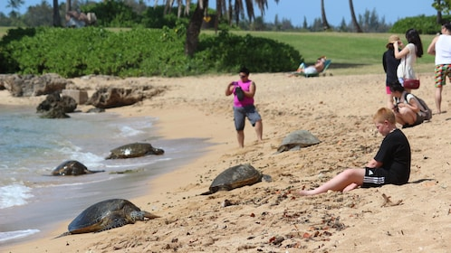 Sea Turtles beached along Oahu's North Shores