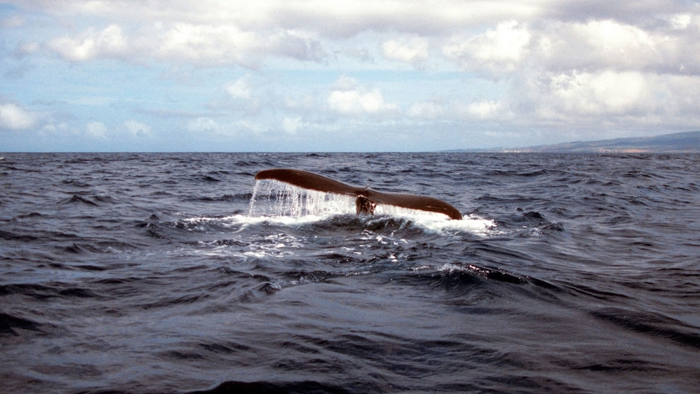 Show item 3 of 5. Whale tail seen from boat in Maui