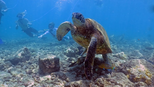 Turtle near divers in Kauai