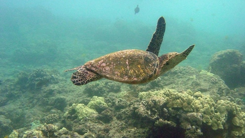 Sea turtle swimming through coral reef in Maui