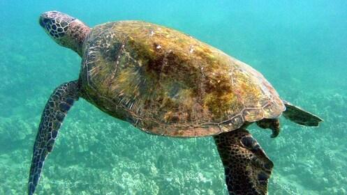 Large sea turtle swimming around Maui