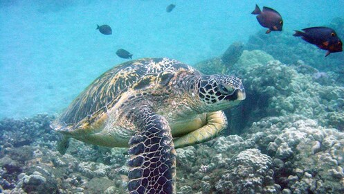sea turtle swimming with fish in the sea in Maui