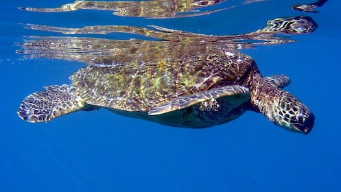 sea turtle navigating the waters in Maui