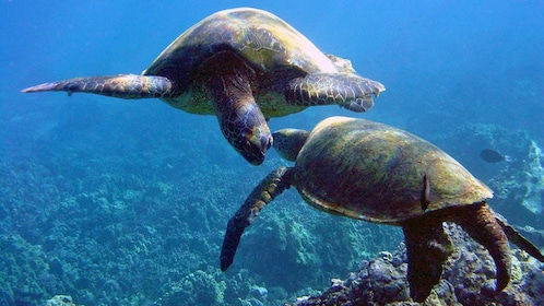 Two sea turtles in the waters around Maui