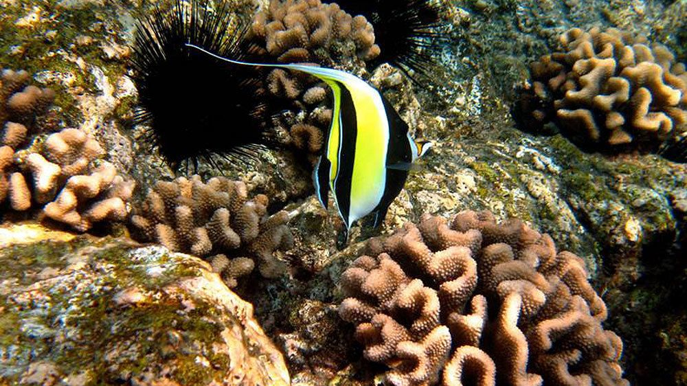 Striped fish in the corral reef of the pacific ocean