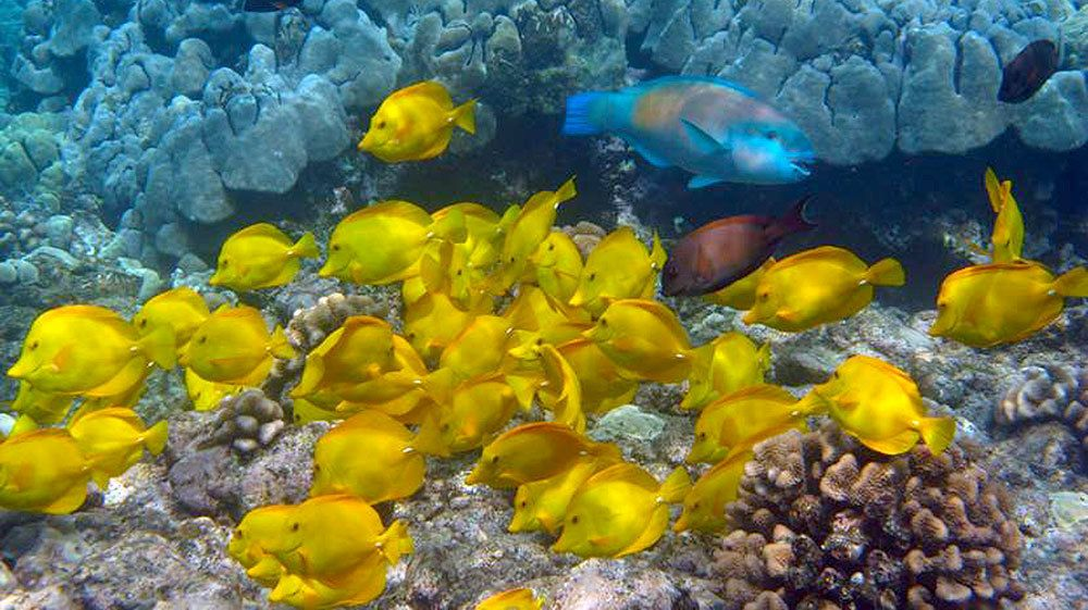 school of yellow fish swimming by a coral reef in the pacific ocean