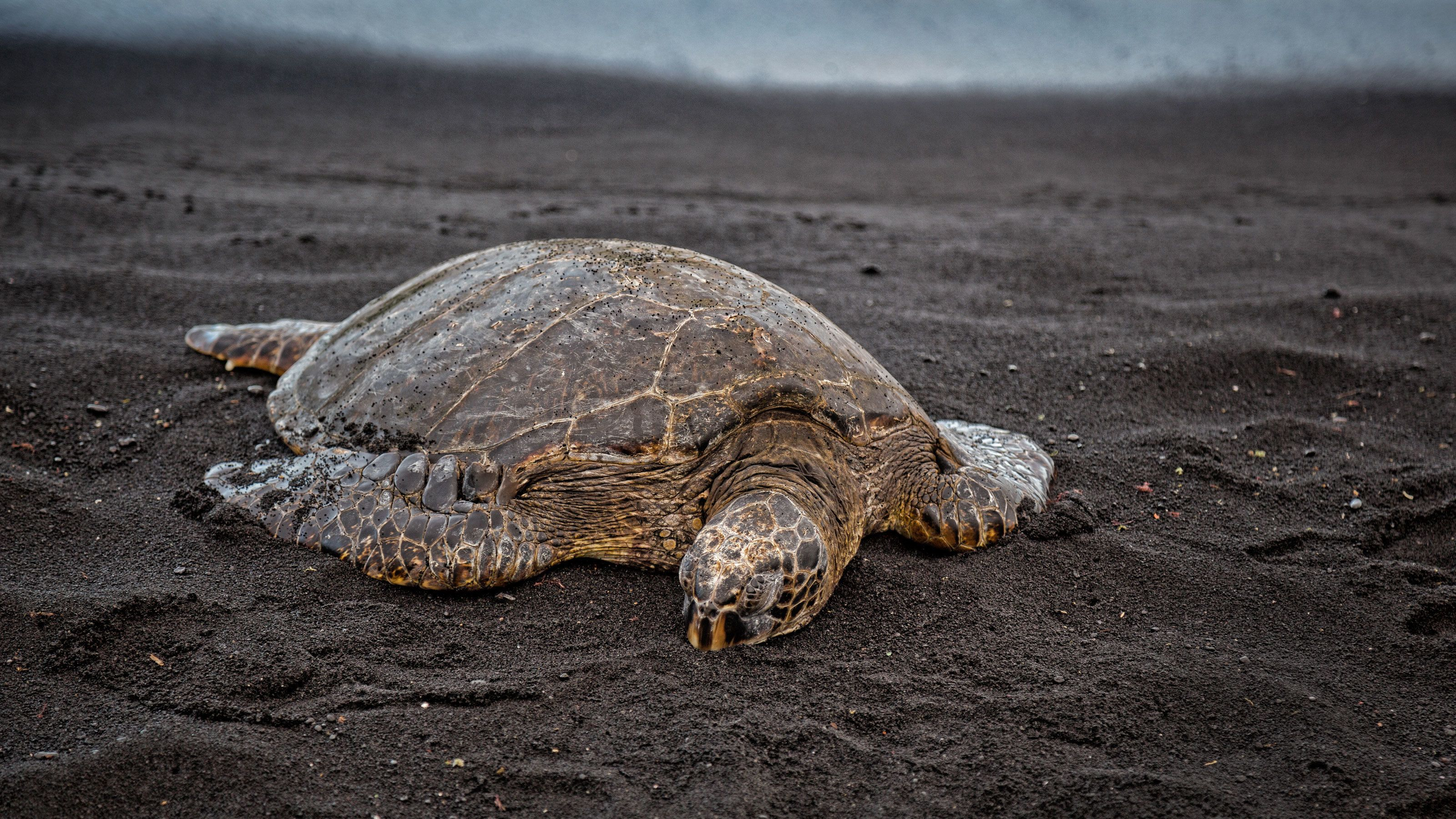 Turtle on Volcano Country tour in Hawaii