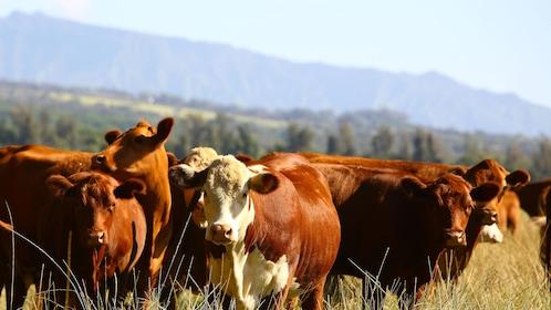 Cattle on a ranch on Kauai