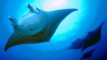 COMBO: Sunset and Night Manta Ray Snorkel Adventure