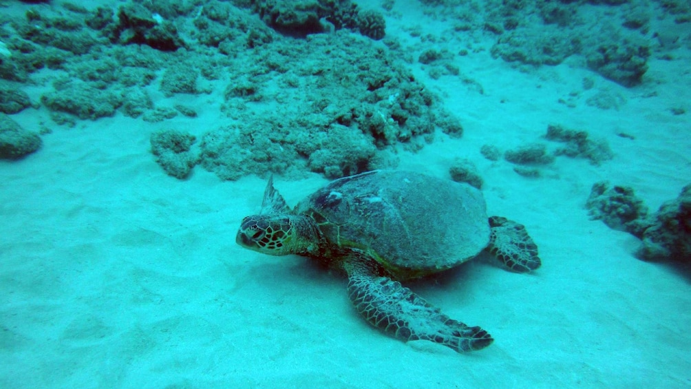 Turtle near reef in Oahu