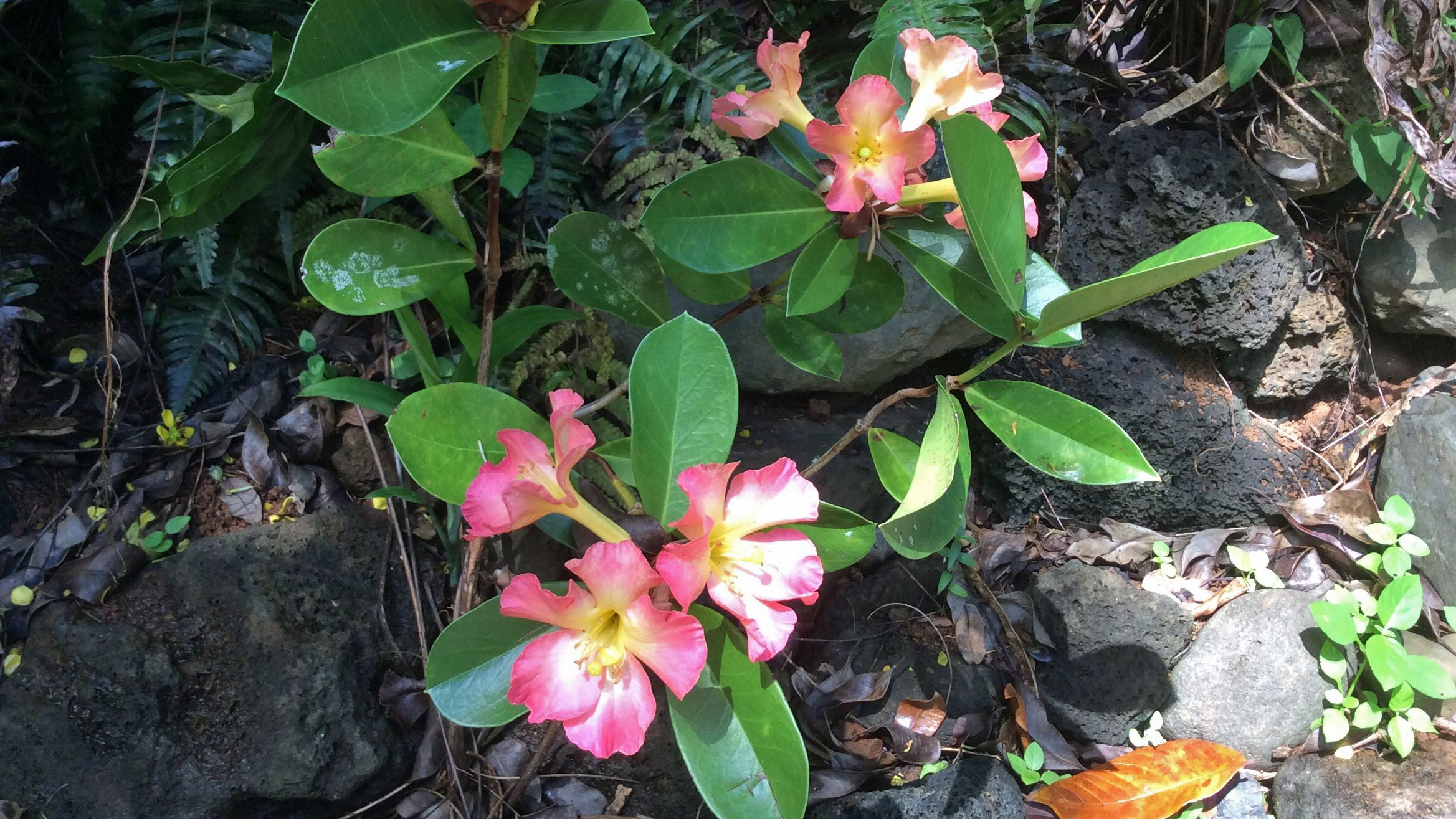 Tropical flowers in Kauai