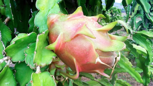 dragon fruit growing at the farm in Maui
