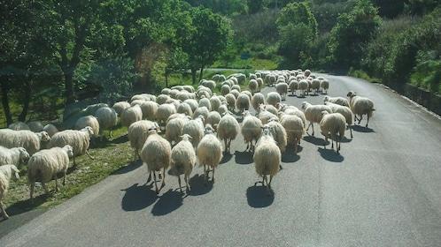 School of sheep traveling down road.