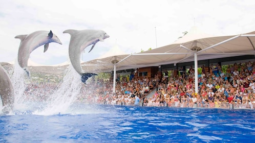 Dolphins jumping out of water during a show