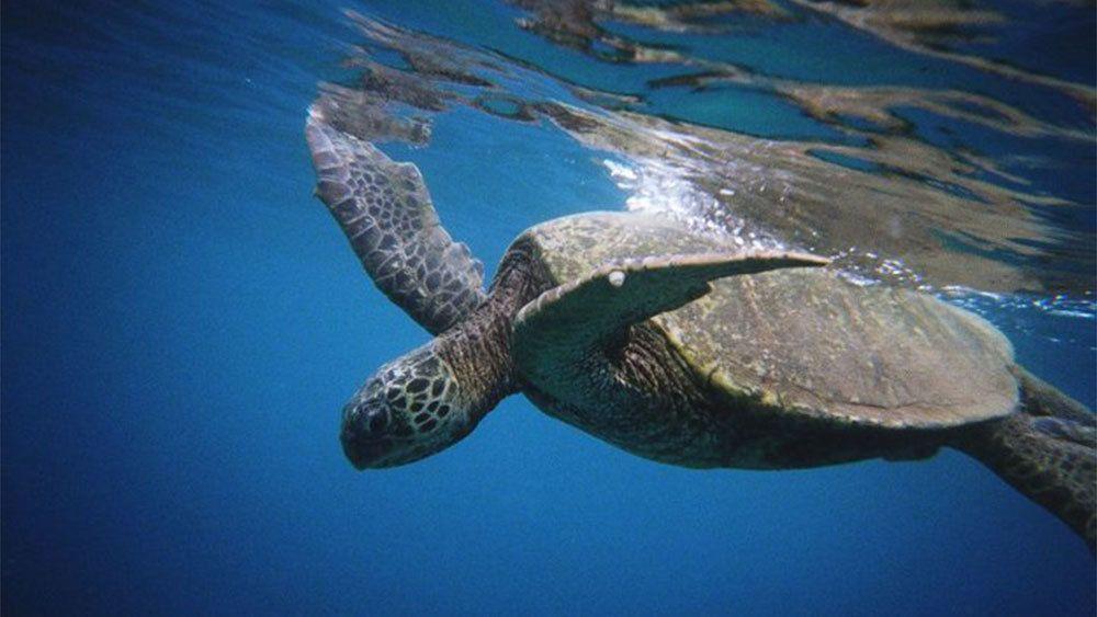 Sea turtle on Maui