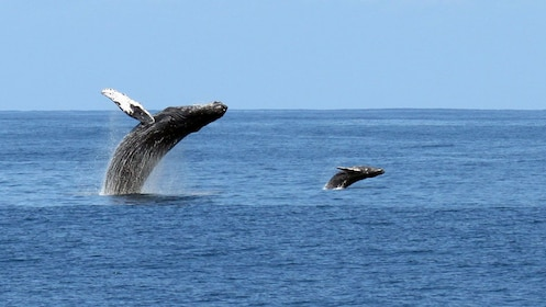 Two whales jumping out of water in Kauai