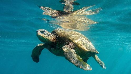 sea turtle in ocean in Kauai