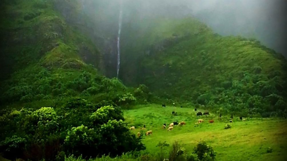 Show item 3 of 5. Cows roaming in Ka'a'awa Valley in Oahu