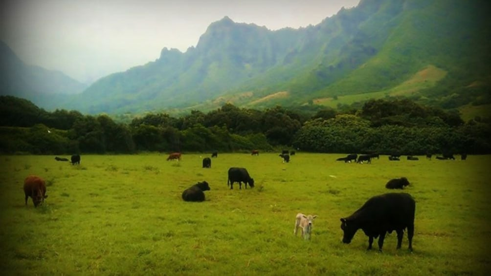 Show item 5 of 5. Cows roaming in Ka'a'awa Valley in Oahu