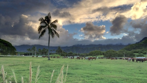 Cows roaming through the Ka'a'awa Valley in Oahu at sunset