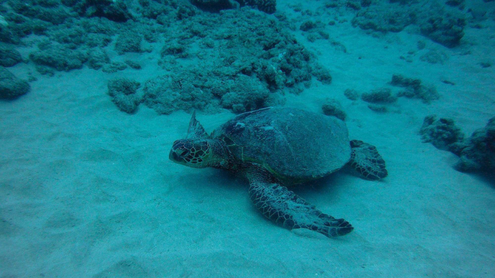 Underwater Scuba turtle scene in Oahu