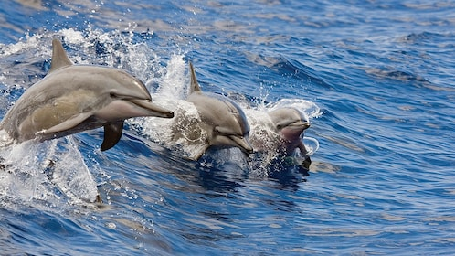Dolphins jumping in Oahu