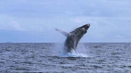 Whale jumping in the ocean