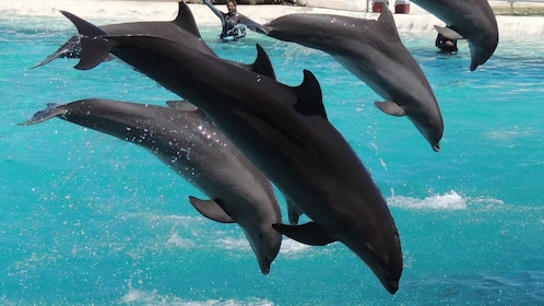 Pod of dolphins leaping out of the water in a tank with trainers nearby at Sea Life Park on Oahu