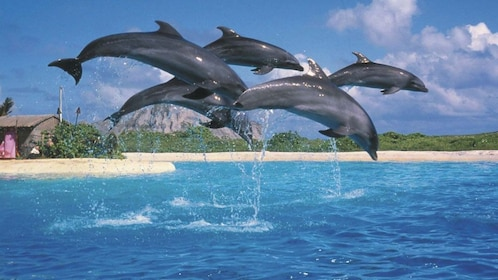 Pod of dolphins leaping out of the water in a tank at Sea Life Park on Oahu