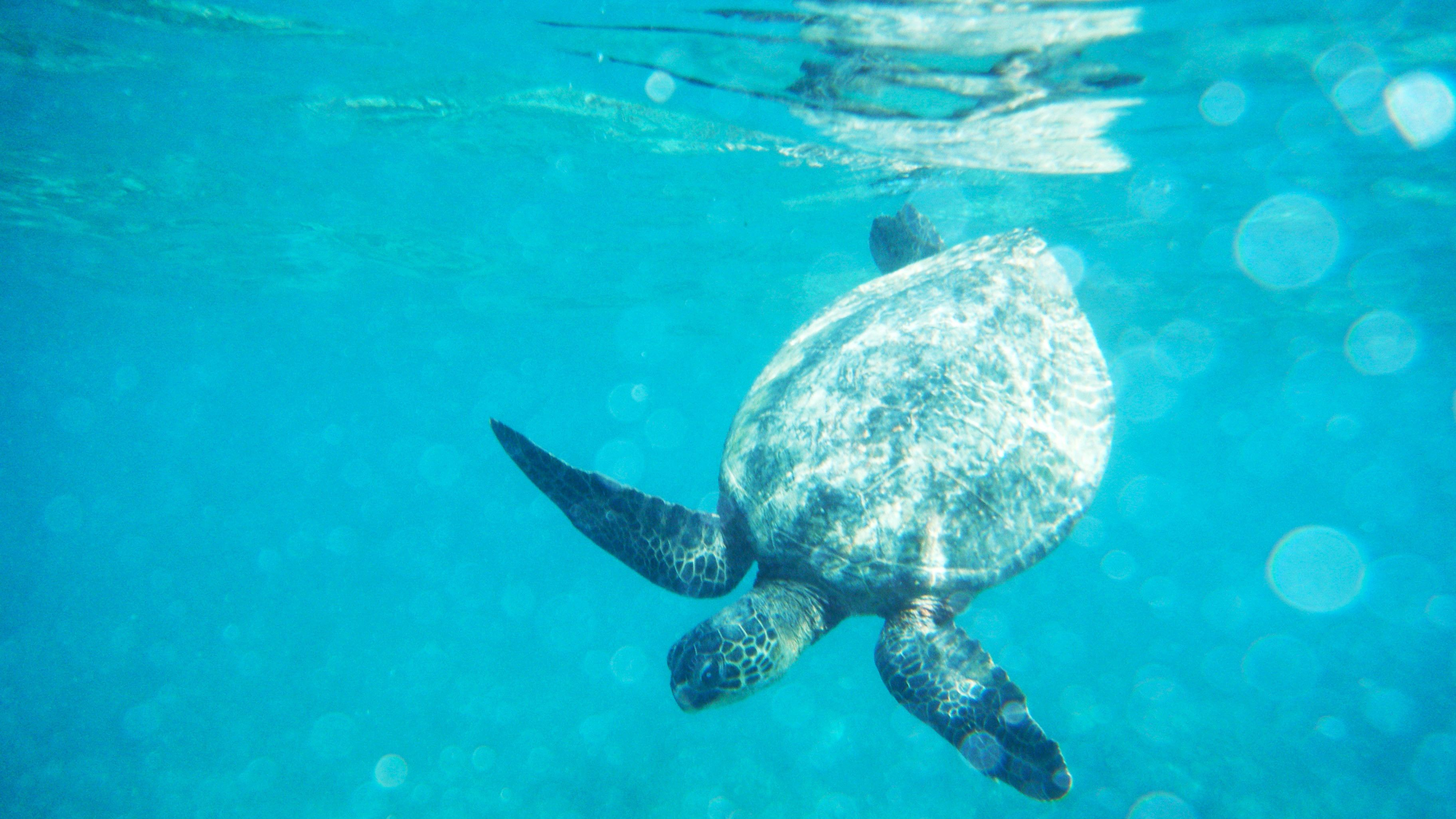 Sea turtle in the water in Oahu