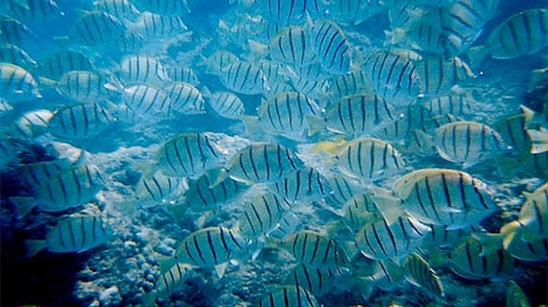 School of fish in Oahu