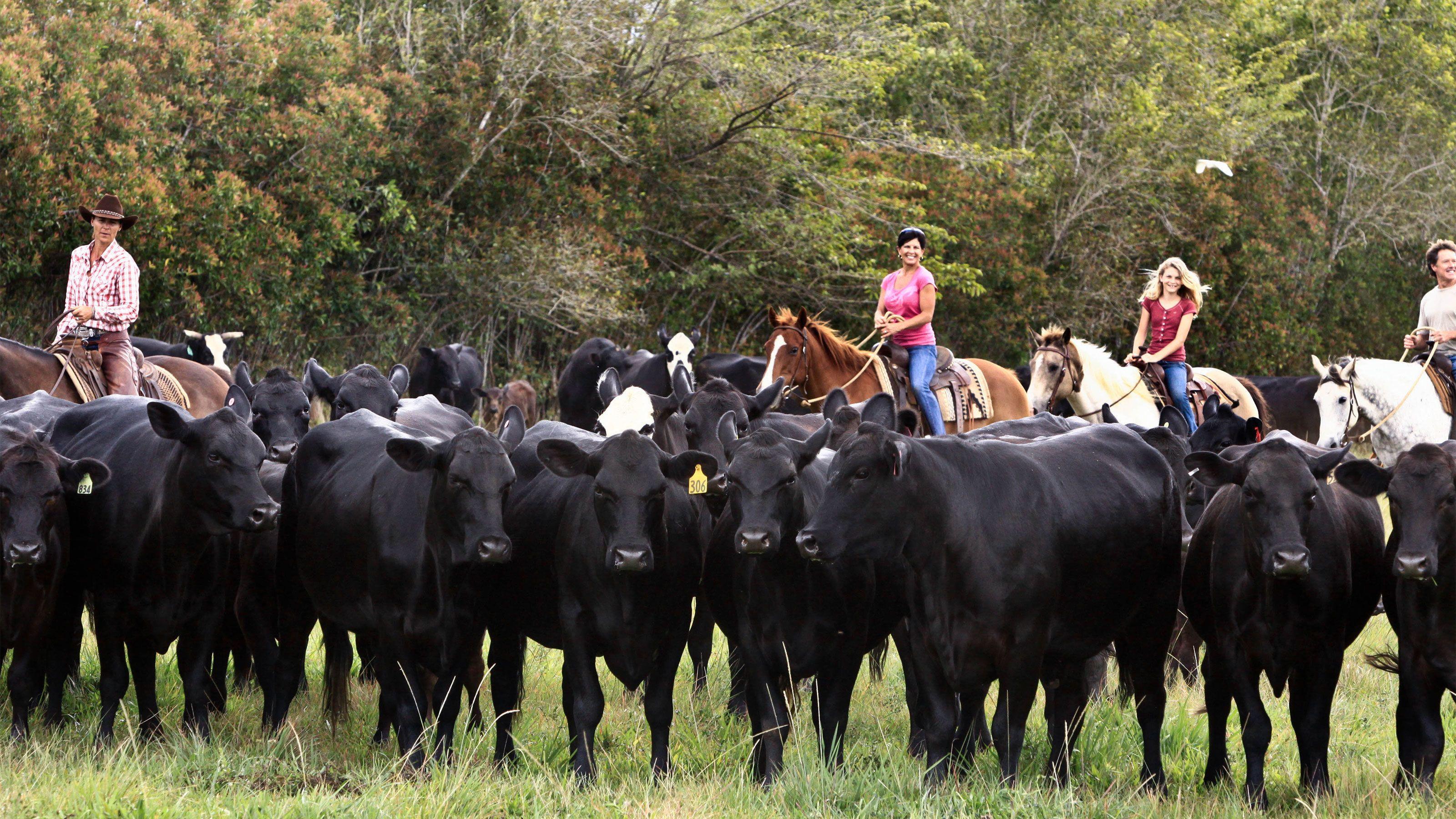 cattle being herded by people on horseback in Kauai