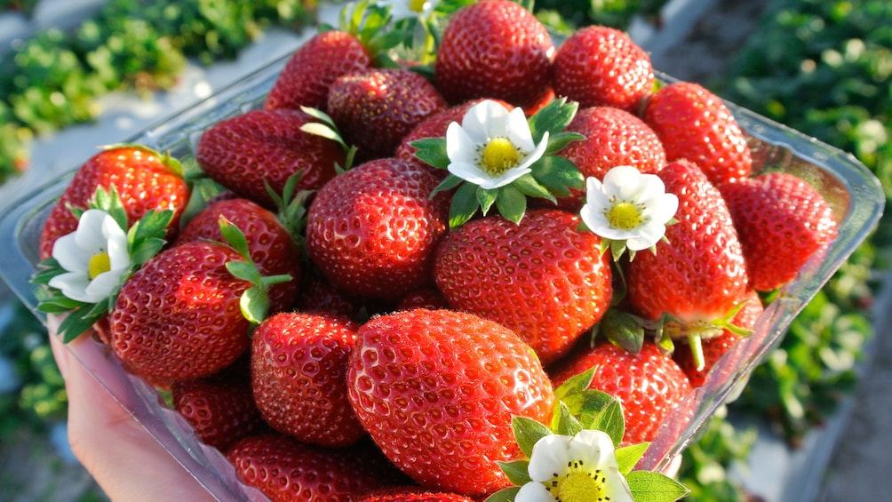 Close up of freshly picked strawberries.
