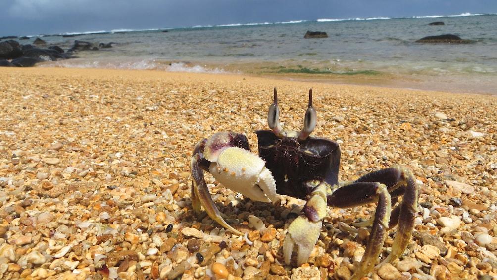 Close up of crab on Kauai coastline.
