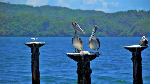 pelicans standing on wooden posts in Punta Cana