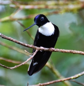 Black and white bird in the Mindo Cloud Forest