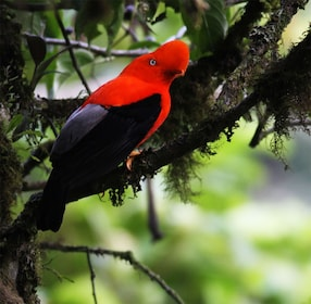 Red and black bird in Mindo Cloud Forest
