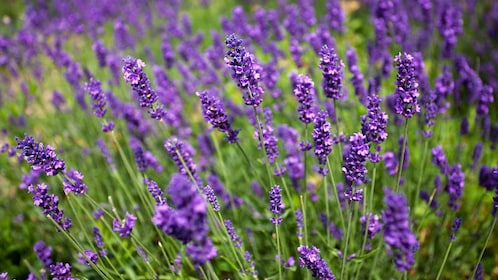 Close up of lavender in Maui
