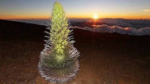 Yucca plant in the Haleakala national park in Maui Hawaii