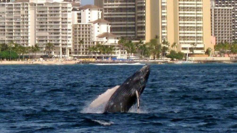 Show item 3 of 8. Breaching whale off the coast of Oahu