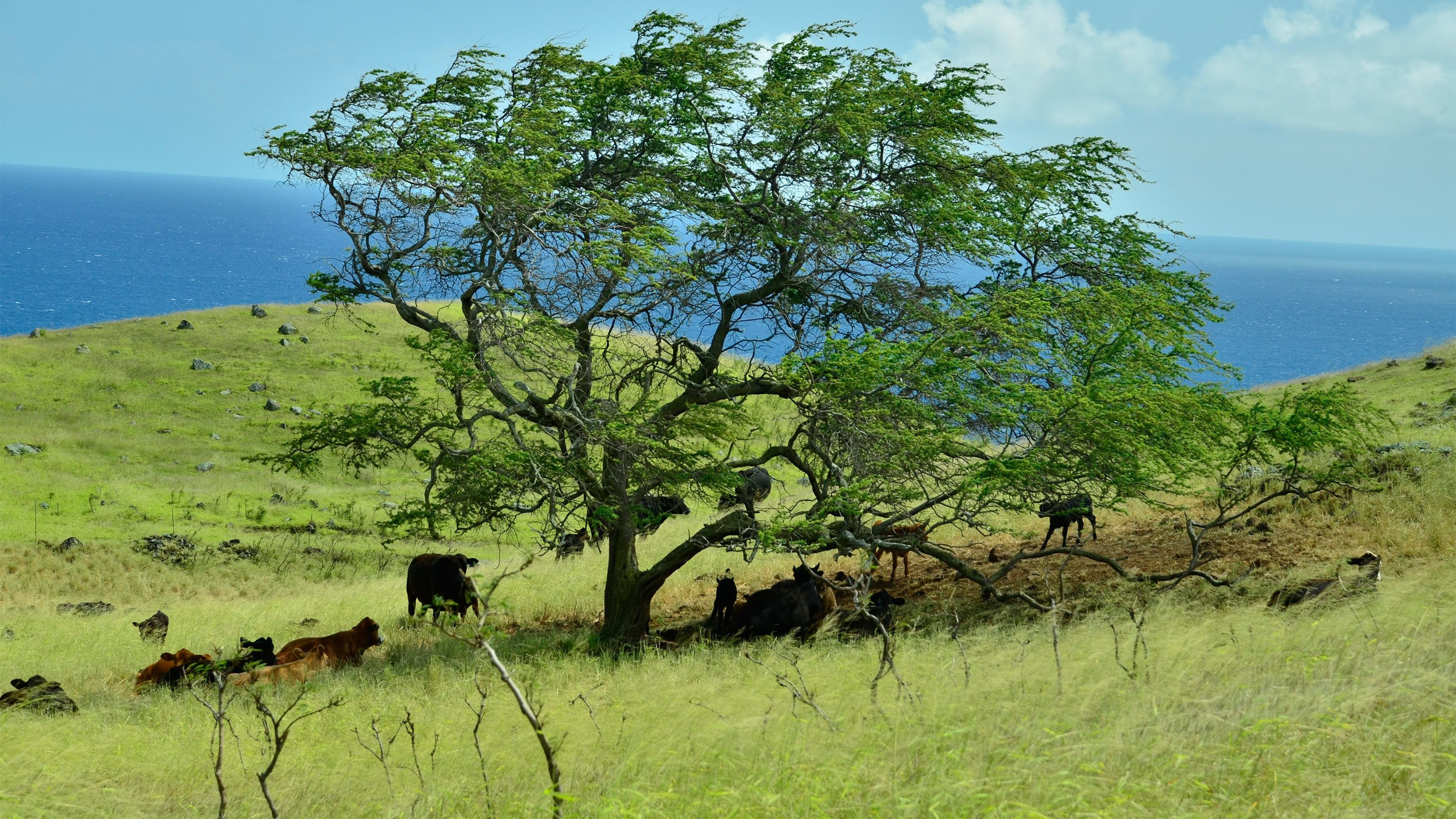 Field with livestock gathered under a tree in the hills along the coast in Hana