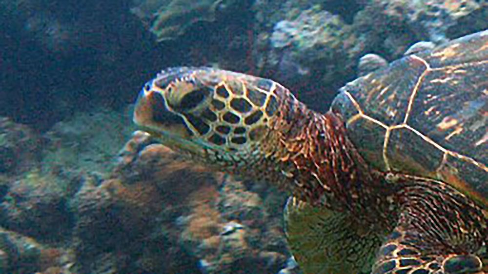 Sea turtle crawling on the bottom of the ocean in Maui