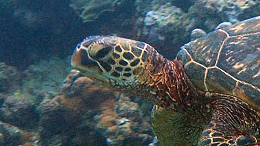 Show item 2 of 10. Sea turtle crawling on the bottom of the ocean in Maui